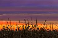 Stock Photo of Sky Maize