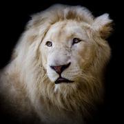 White africa lion - stock photo