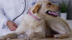 Veterinarian giving dog a checkup - stock footage