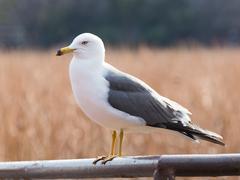 Most intelligent seagull Stock Photos