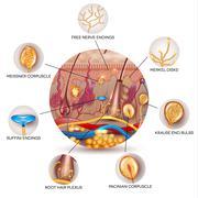 Skin anatomy and Sensory receptors in the skin Stock Illustration