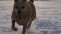 Dog Pouncing on Snow Stock Footage