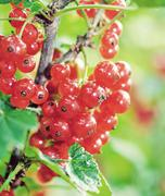 Red currant. Vintage retro hipster style version Stock Photos