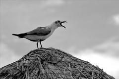 Screaming sea gull in straw Stock Photos