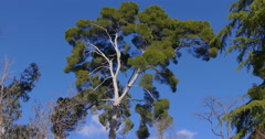 Sunny day blue sky pine top close up 4k spain Stock Footage