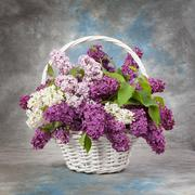 Spring bouquet. Lily of the valley and lilac in a basket - stock photo