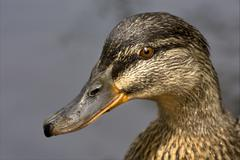 a duck in the lake - stock photo