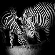 Young zebra with mom Stock Photos