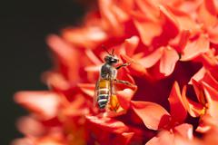 Close up Ixora and Bee - stock photo