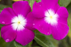 Pink Cape Periwinkle, Vinca Stock Photos