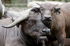 Cute baby African buffalo with it's mother frontal Stock Photos