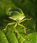 front of wild fly hemiptera Nezara Virdula - stock photo
