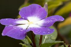 Violet Cape Periwinkle, Vinca and drop Stock Photos
