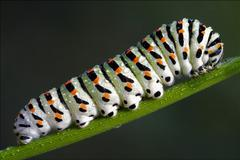caterpillar of Papilionidae in the fennel - stock photo