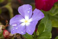 Violet Cape Periwinkle, Vinca and drop Stock Photos
