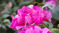 Pink Bougainvillea on tree - stock photo