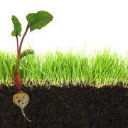 Cross-section of soil and grass with beetroot isolated Stock Illustration