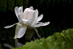 nymphaea alba - stock photo