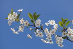 Beautiful spring flowers cherry on a background of blue sky - stock photo