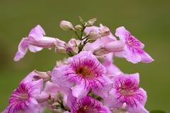 large flower cluster of Pandorea Ricasoliana - stock photo