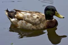 reflex of a duck - stock photo