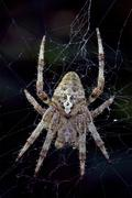 Spider  Araneus Angulatus Stock Photos