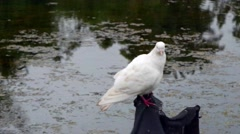 4K UHD video of a white pigeon with red feet standing by a pond Stock Footage