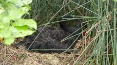 4K Ultra HD video of a black swan hiding in bush incubating eggs in a nest - stock footage