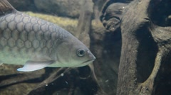 Kelah Or Mahseer In Aquarium Stock Footage