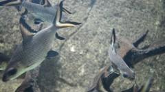 Bala Shark, Tricolor Shark, Silver Shark In Aquarium Stock Footage