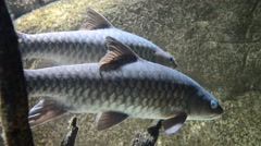 Kelah Or Mahseer In Aquarium, Zoom In Stock Footage