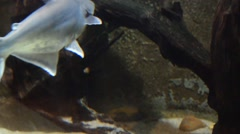 River Patin Or Pangasius In Aquarium Stock Footage