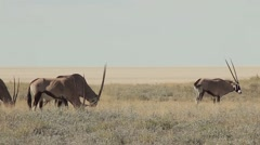 Oryx herd grazing Stock Footage
