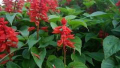 Red flowers dolly Stock Footage