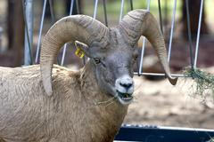 Bighorn Sheep - stock photo