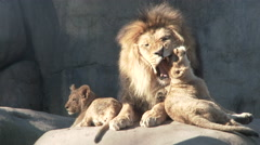 Loving Lion and His Cubs Stock Footage