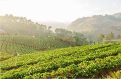 Strawberry farm at Doi Angkhang, Chiangmai, Thailand - stock photo