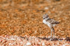 Lapwing Chick on Pebble Beach - stock photo
