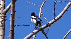 Magpie on a tree Stock Footage