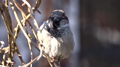 Sparrow on a tree - stock footage