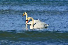 Two young mute Swan - stock photo