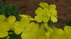 Static group of yellow wild flowers in a garden, 1080p beauty shot Stock Footage