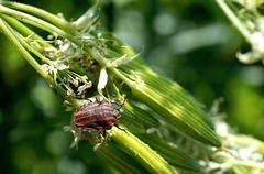 Striped shield bug on flowering plant - stock photo