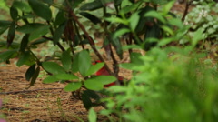 A red Northern Cardinal hides behind shrubs then flys away Stock Footage