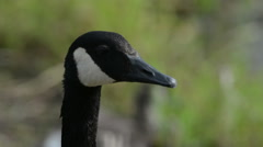 Stock Video Footage of A Canada Goose hisses and bobs his head