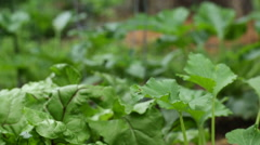 Green garden leaves, organic farming Stock Footage
