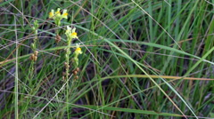 Yellow snapdragons in dune grass, 1080p nature beauty shot Stock Footage