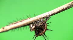 Cannibal caterpillar eating front-end view Stock Footage