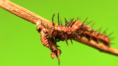 Cannibal caterpillar zoomed eating (good) Stock Footage