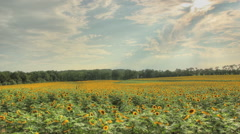 Timelapse over a sunflower field Stock Footage
